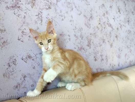 Котенок Мейн-кун в Улан-Удэ Фото 2