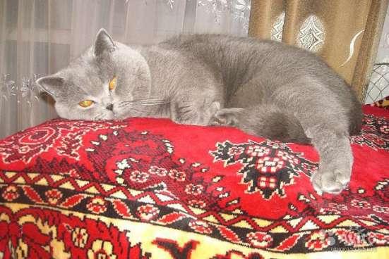 Вязка. Шотландский прямоухий кот (скоттиш-страйт)