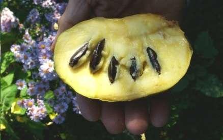 Азимина-банан для садов северных широт! в г. Витебск Фото 2