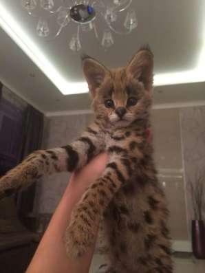 Каракал и Сервал котята из международного питомника в Москве