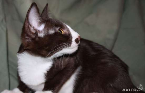 Ориентальная кошка в добрые руки