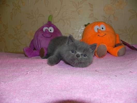британские и шотландские котята в Москве Фото 1