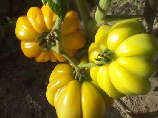 Семена высокоурожайных сортов томатов собственного сбора.
