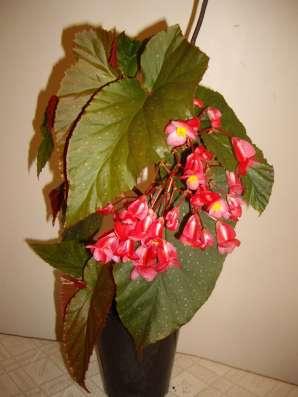 Бегония кустовая,коралловая,молодое растение