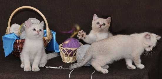 Продажа британских котят драгоценного окраса в Томске Фото 4