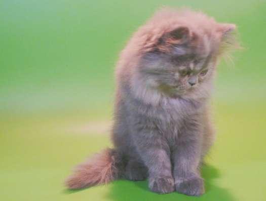 Клубный персидский котенок в Москве Фото 4