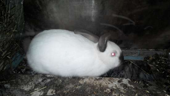 Крольчиха колифорнийкий 5 мес