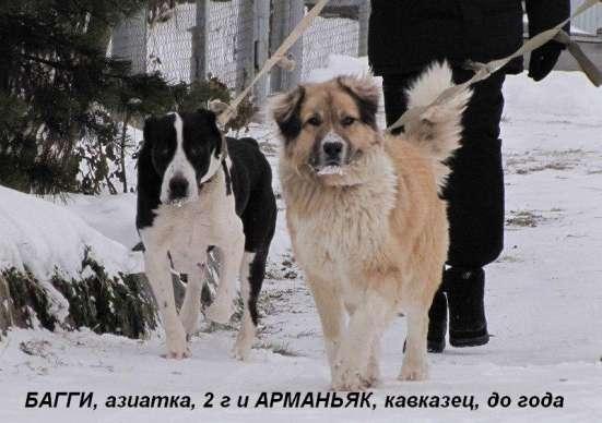 Собаки-гиганты, охранники для дома или предприятия