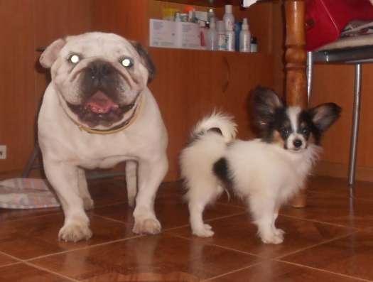 Продаёся щенок папийона