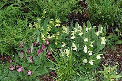 Венерины башмачки-орхидеи для сада