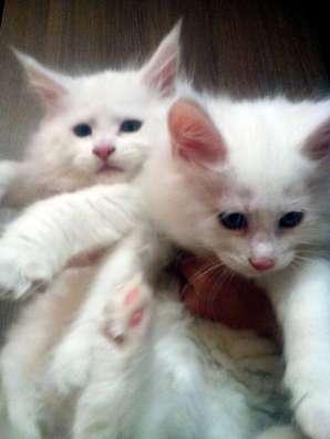 Котята Мейн Кун белоснежные