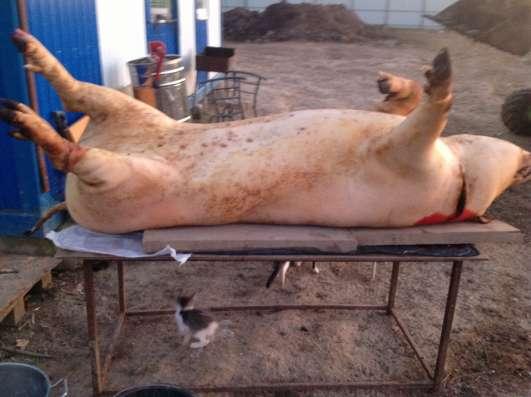 продам мясо свинина баранина