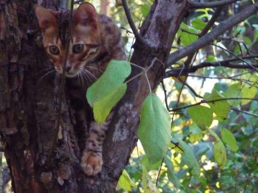 Бенгальский кот для души или в разведение
