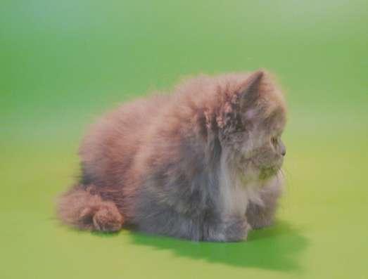 Клубный персидский котенок в Москве Фото 1