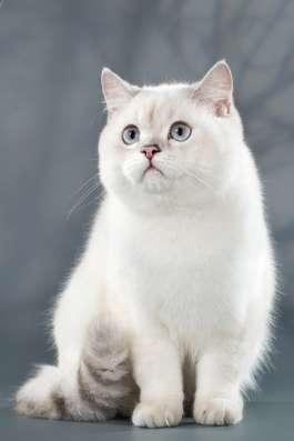 Продажа британских котят драгоценного окраса