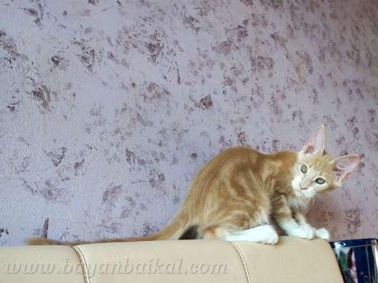 Котенок Мейн-кун в Улан-Удэ Фото 1