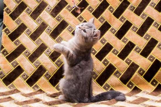 шотландский котенок-мальчик