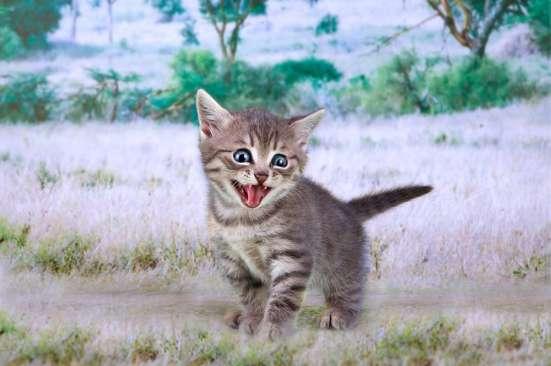 Продаются котята Саванна