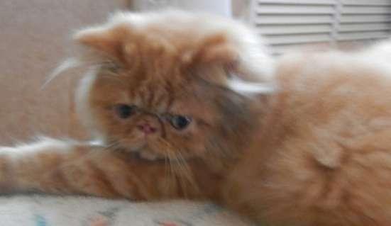 персы от питомника в Майкопе Фото 4