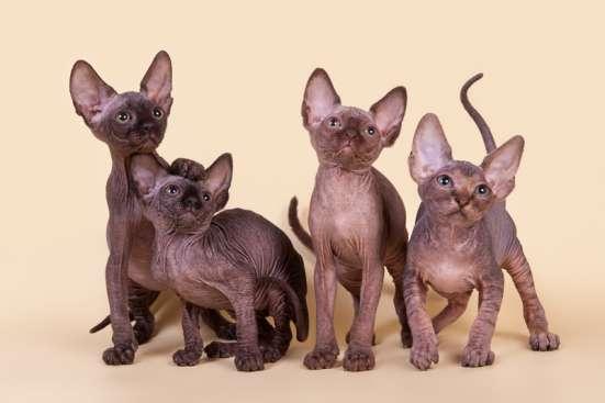 Не котёнок, а обояшка, зефирка и неженка. в Астрахани Фото 1