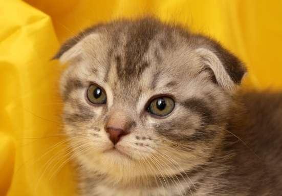 очаровательные шотландские котята фолды и страйты в Москве Фото 2