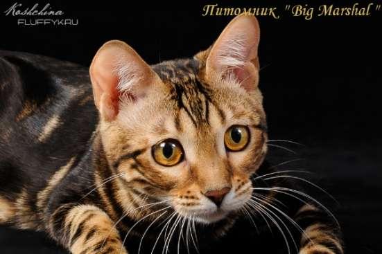 Бенгальские котята в Москве Фото 4
