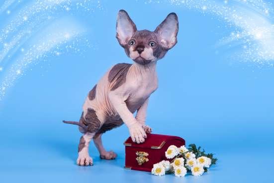 Милое, трогательное существо-котёнок сфинкс.