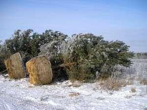 Саженцы деревьев из лесхоза оптом в Москве Фото 1