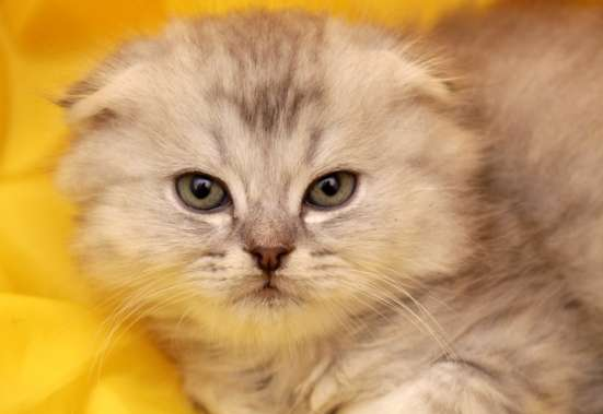 очаровательные шотландские котята фолды и страйты в Москве Фото 3