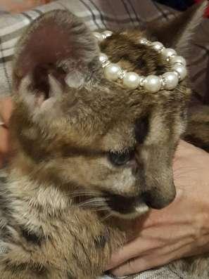 Котята Пумы