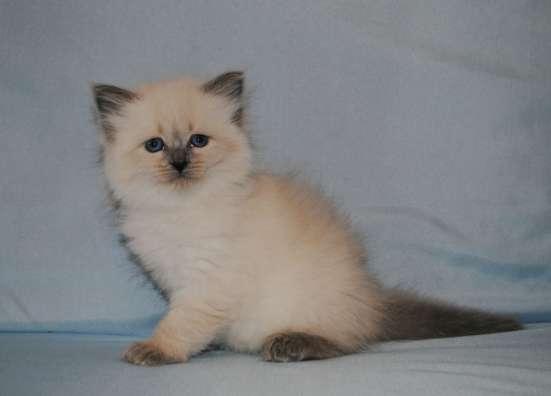 Невские маскарадные котята в ваш дом в Подольске Фото 2