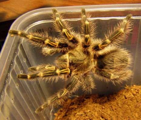 Продам паука в Иркутске Фото 1