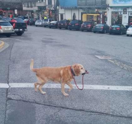 собака породы риджбек смесь с лобрадором