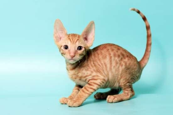 Котята породы корниш-рекс