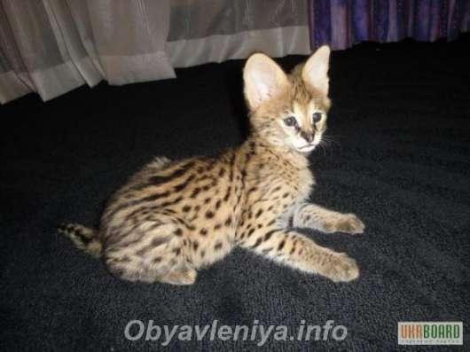 Куплю за символическую плату, котёнка сервала. в Ульяновске Фото 1