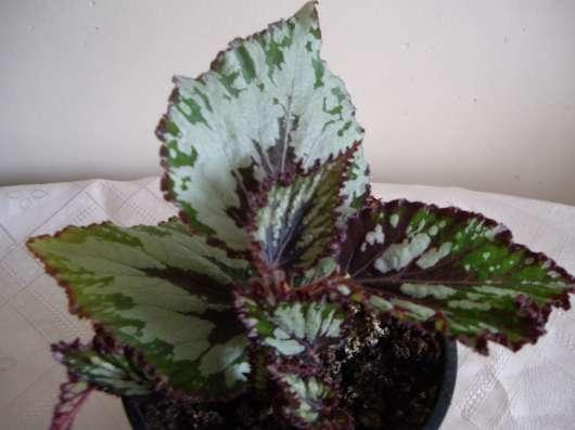 Бегония королевская серебристая,молодое растение