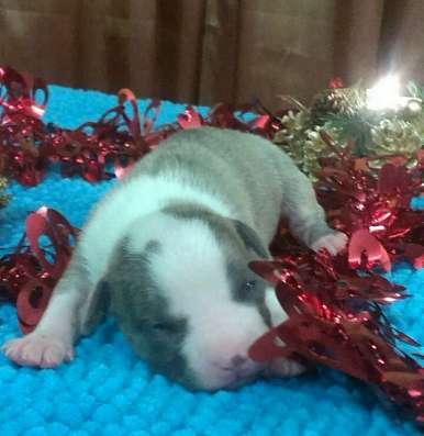 Породные щенки Амстаффики под Новый год!
