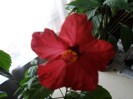 Гибискус (роза китайская)