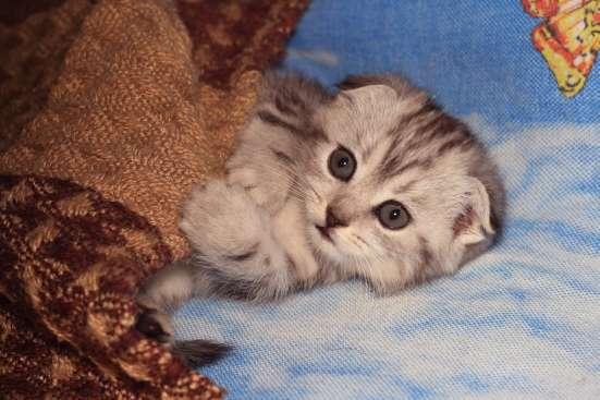 Шотландские котята в Уфе Фото 1