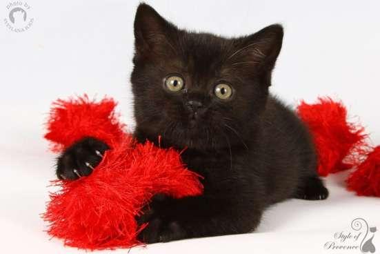 Черные британские котята! в Москве Фото 2
