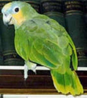 попугай Венесуэльский Амазон в Москве Фото 1