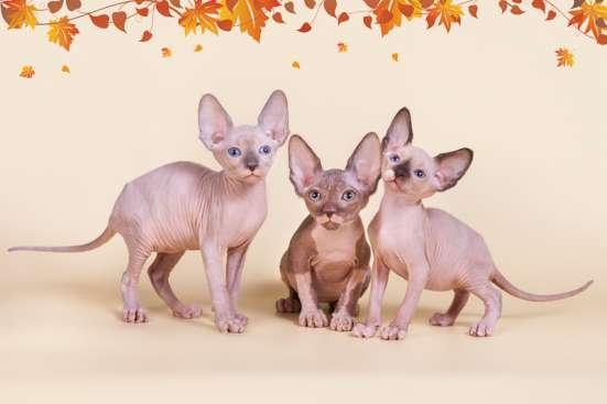 Гуманоид? Котёнок сфинкс! в г. Каракас Фото 5