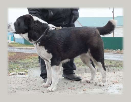 Собака для загородного дома в Уфе Фото 1