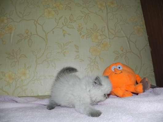 британские и шотландские котята в Москве Фото 5