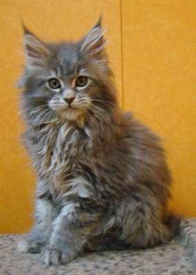 Мейн куны! Котята породы Мейн кун! Мэйн кун нежный гигант в в Москве Фото 5