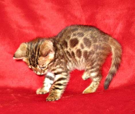 Продаю котят бенгалов недорого