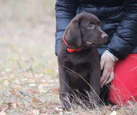 шоколадный щенок лабрадора в Нижнем Новгороде Фото 1