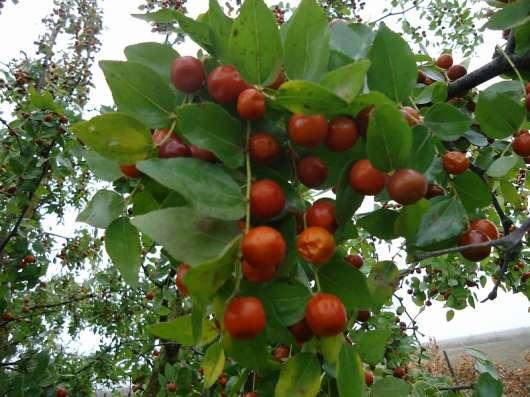 Унаби-красота в саду и элексир здоровья!