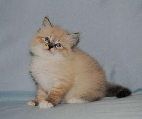 Невские маскарадные котята в ваш дом в Подольске Фото 4