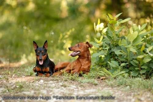 король миниатюрных пород-цвергпинчер! щенки,продаются в Улан-Удэ Фото 5